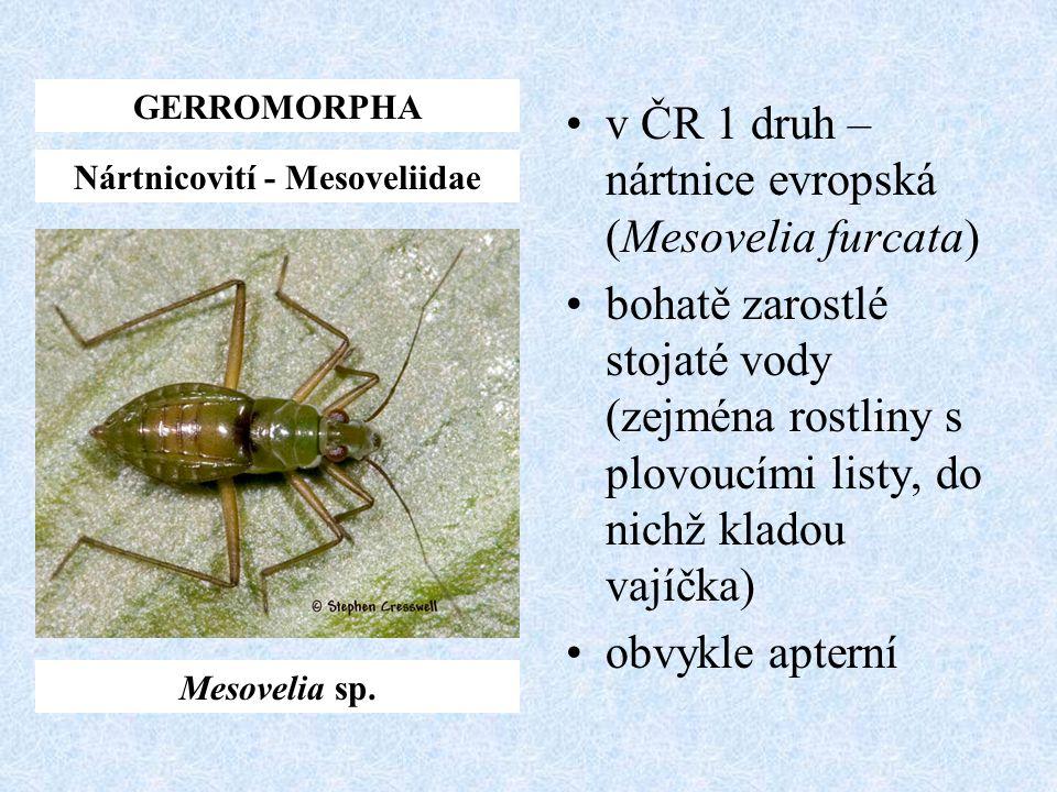 v ČR 1 druh – nártnice evropská (Mesovelia furcata) bohatě zarostlé stojaté vody (zejména rostliny s plovoucími listy, do nichž kladou vajíčka) obvykl