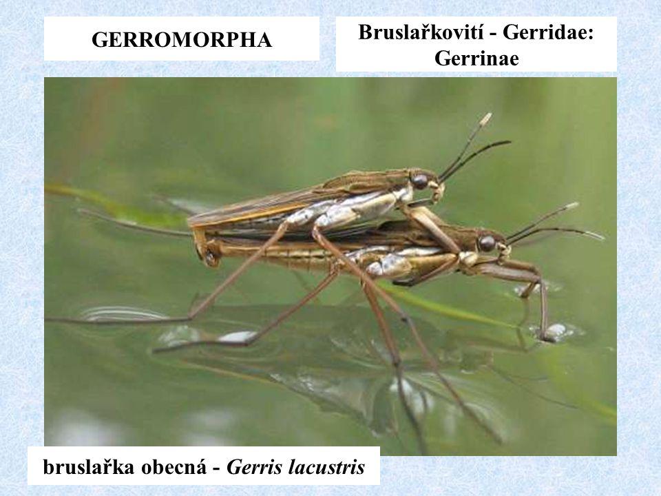 GERROMORPHA Bruslařkovití - Gerridae: Gerrinae bruslařka obecná - Gerris lacustris