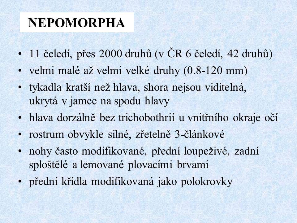 NEPOMORPHA 11 čeledí, přes 2000 druhů (v ČR 6 čeledí, 42 druhů) velmi malé až velmi velké druhy (0.8-120 mm) tykadla kratší než hlava, shora nejsou vi