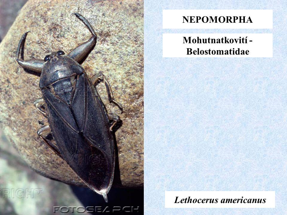 Lethocerus americanus NEPOMORPHA Mohutnatkovití - Belostomatidae