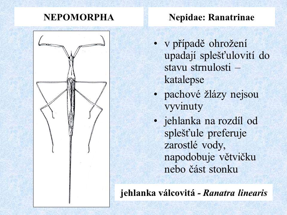NEPOMORPHANepidae: Ranatrinae jehlanka válcovitá - Ranatra linearis v případě ohrožení upadají splešťulovití do stavu strnulosti – katalepse pachové ž