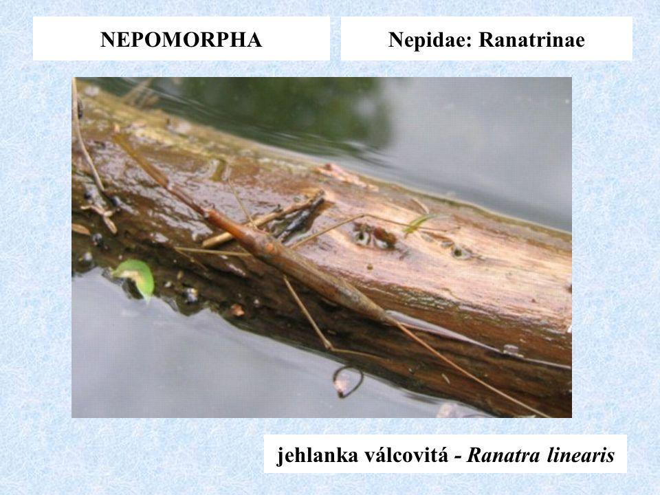 NEPOMORPHANepidae: Ranatrinae jehlanka válcovitá - Ranatra linearis