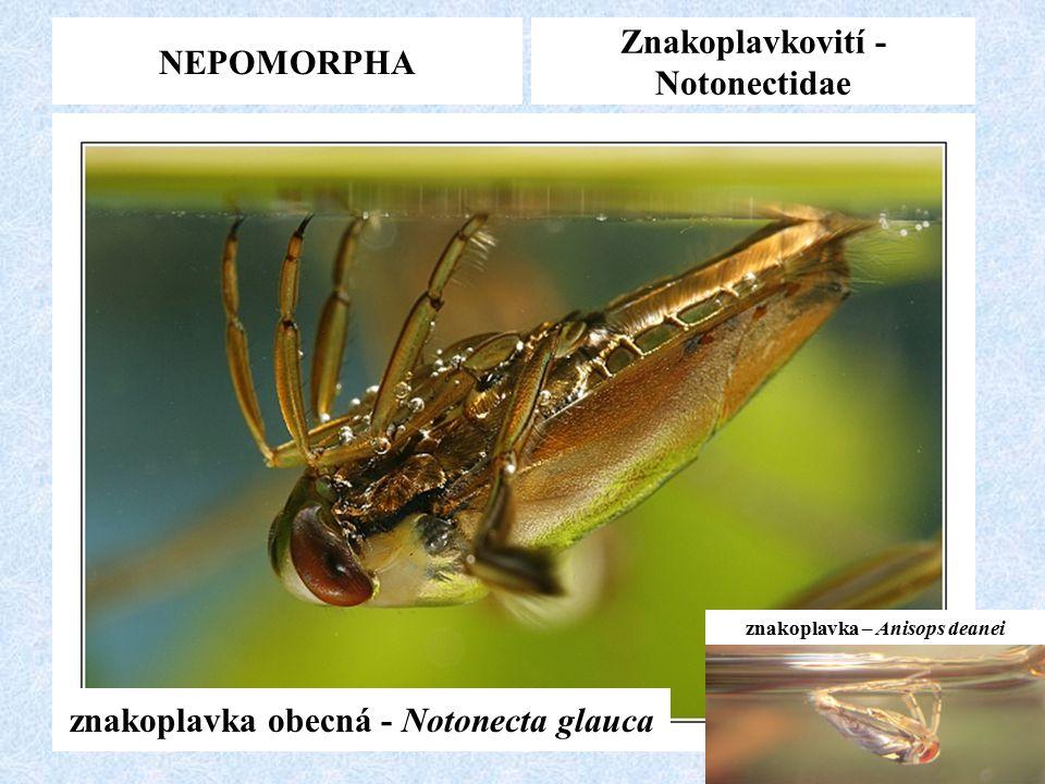 NEPOMORPHA Znakoplavkovití - Notonectidae znakoplavka obecná - Notonecta glauca znakoplavka – Anisops deanei