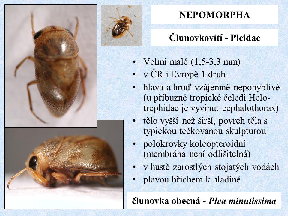 NEPOMORPHA Člunovkovití - Pleidae člunovka obecná - Plea minutissima Velmi malé (1,5-3,3 mm) v ČR i Evropě 1 druh hlava a hruď vzájemně nepohyblivé (u
