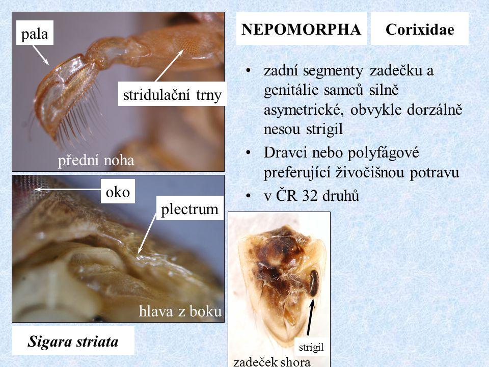 NEPOMORPHACorixidae Sigara striata přední noha pala stridulační trny oko plectrum hlava z boku strigil zadeček shora zadní segmenty zadečku a genitáli