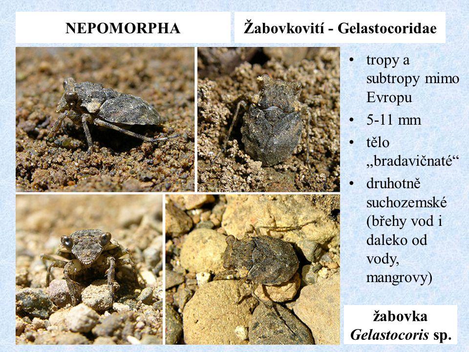 """NEPOMORPHAŽabovkovití - Gelastocoridae žabovka Gelastocoris sp. tropy a subtropy mimo Evropu 5-11 mm tělo """"bradavičnaté"""" druhotně suchozemské (břehy v"""