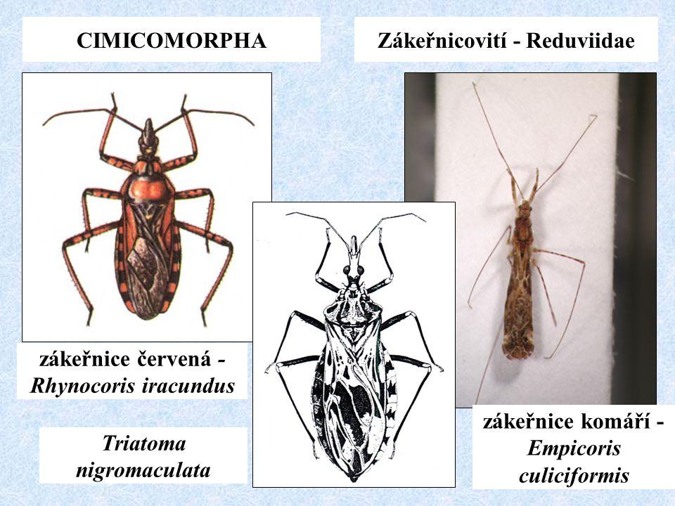 CIMICOMORPHAZákeřnicovití - Reduviidae zákeřnice červená - Rhynocoris iracundus Triatoma nigromaculata zákeřnice komáří - Empicoris culiciformis
