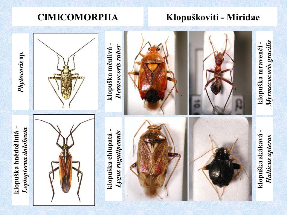 CIMICOMORPHAKlopuškovití - Miridae klopuška hnědožlutá - Leptopterna dolobrata Phytocoris sp. klopuška skákavá - Halticus apterus klopuška mravenčí -