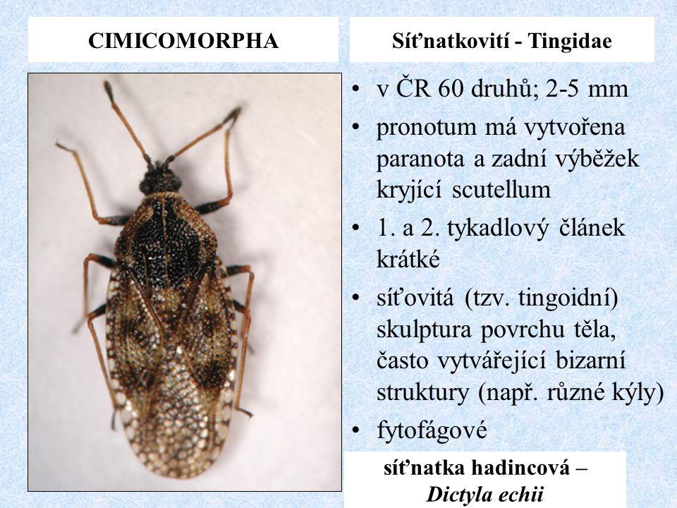 CIMICOMORPHASíťnatkovití - Tingidae síťnatka hadincová – Dictyla echii v ČR 60 druhů; 2-5 mm pronotum má vytvořena paranota a zadní výběžek kryjící sc