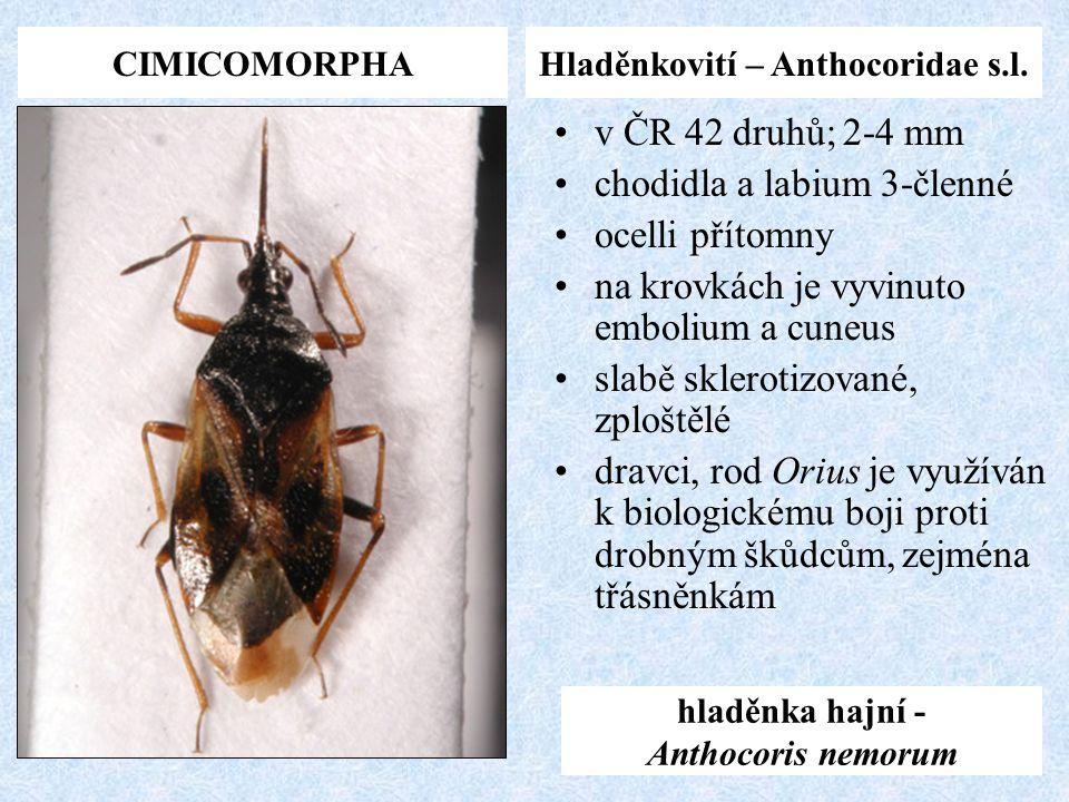 CIMICOMORPHAHladěnkovití – Anthocoridae s.l. hladěnka hajní - Anthocoris nemorum v ČR 42 druhů; 2-4 mm chodidla a labium 3-členné ocelli přítomny na k