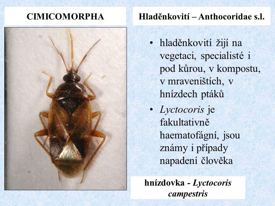 CIMICOMORPHAHladěnkovití – Anthocoridae s.l. hnízdovka - Lyctocoris campestris hladěnkovití žijí na vegetaci, specialisté i pod kůrou, v kompostu, v m