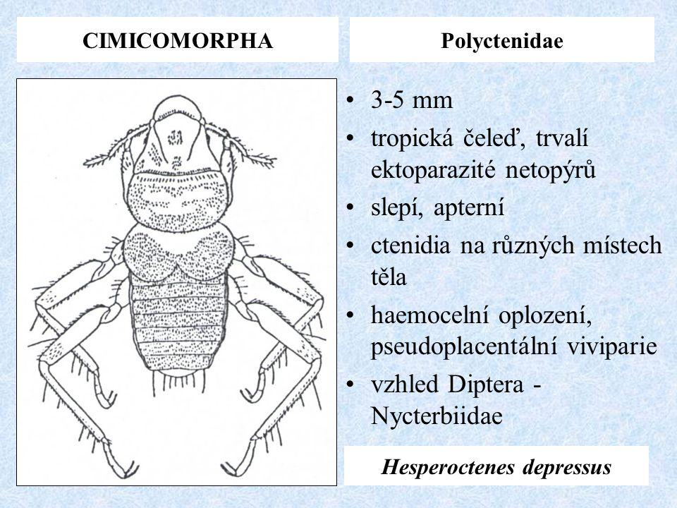 CIMICOMORPHAPolyctenidae Hesperoctenes depressus 3-5 mm tropická čeleď, trvalí ektoparazité netopýrů slepí, apterní ctenidia na různých místech těla h