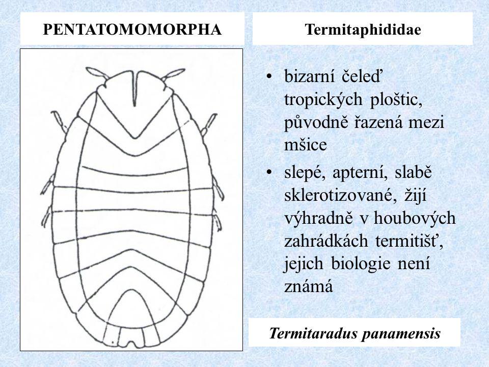 PENTATOMOMORPHATermitaphididae bizarní čeleď tropických ploštic, původně řazená mezi mšice slepé, apterní, slabě sklerotizované, žijí výhradně v houbo