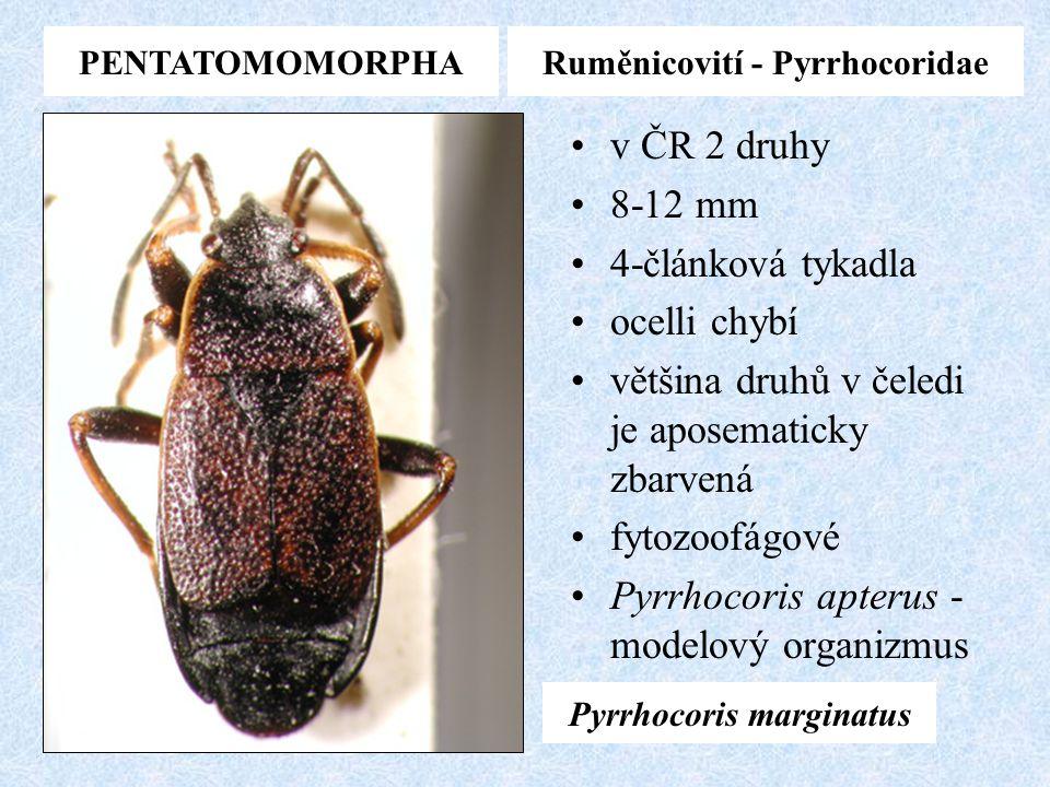 PENTATOMOMORPHARuměnicovití - Pyrrhocoridae v ČR 2 druhy 8-12 mm 4-článková tykadla ocelli chybí většina druhů v čeledi je aposematicky zbarvená fytoz