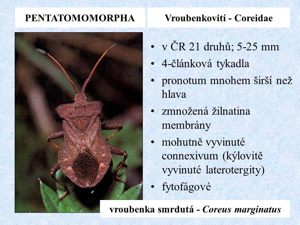 PENTATOMOMORPHAVroubenkovití - Coreidae v ČR 21 druhů; 5-25 mm 4-článková tykadla pronotum mnohem širší než hlava zmnožená žilnatina membrány mohutně