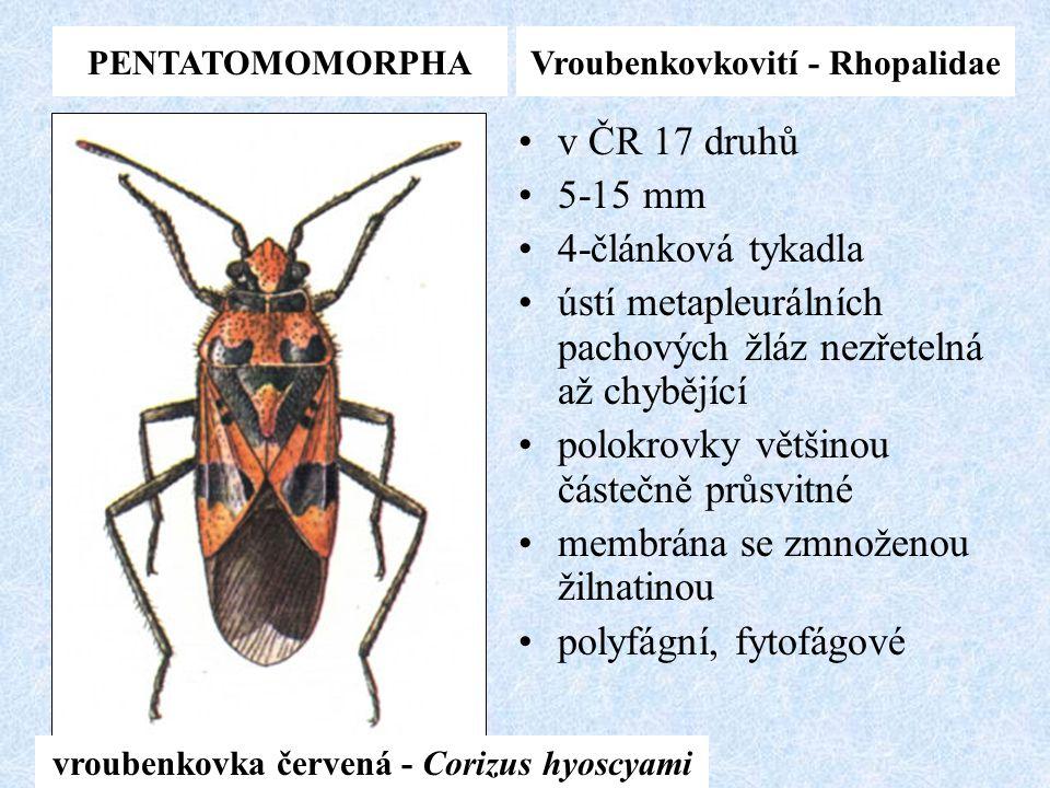 PENTATOMOMORPHAVroubenkovkovití - Rhopalidae v ČR 17 druhů 5-15 mm 4-článková tykadla ústí metapleurálních pachových žláz nezřetelná až chybějící polo