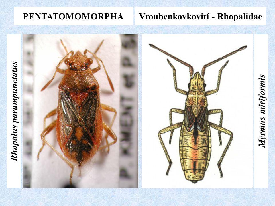 PENTATOMOMORPHAVroubenkovkovití - Rhopalidae Myrmus miriformis Rhopalus parumpunctatus