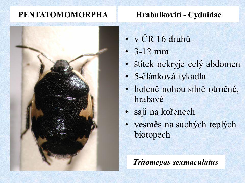 PENTATOMOMORPHAHrabulkovití - Cydnidae v ČR 16 druhů 3-12 mm štítek nekryje celý abdomen 5-článková tykadla holeně nohou silně otrněné, hrabavé sají n