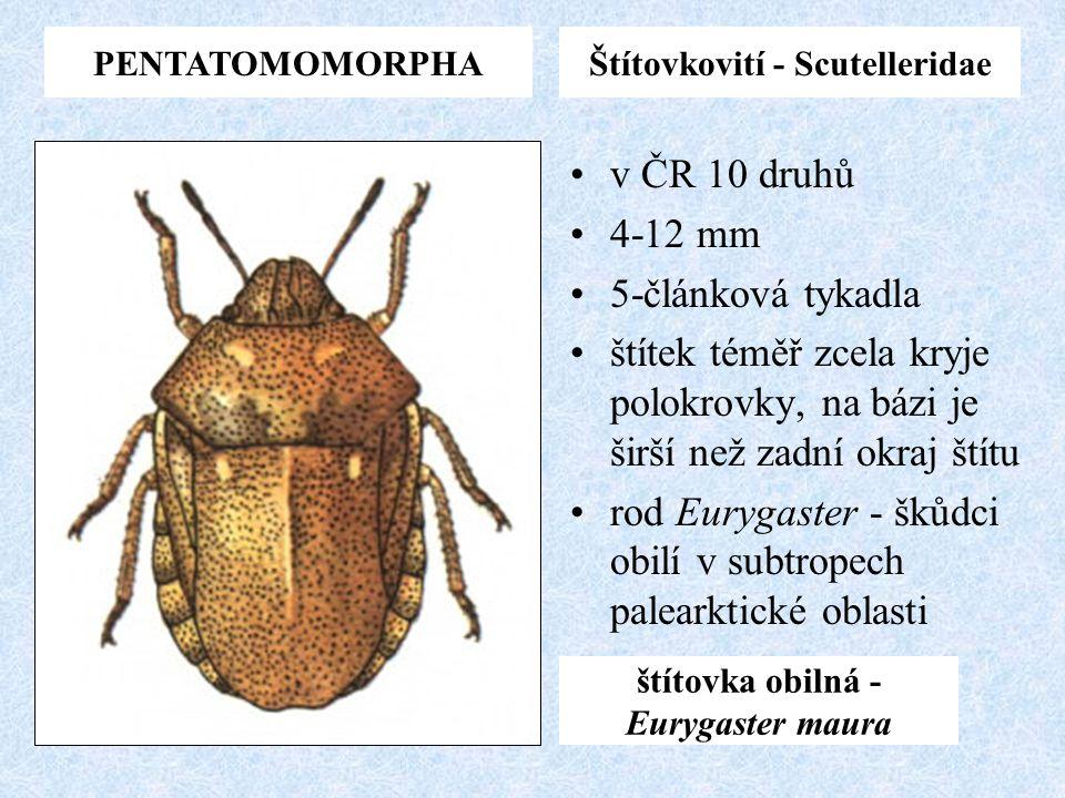 PENTATOMOMORPHAŠtítovkovití - Scutelleridae v ČR 10 druhů 4-12 mm 5-článková tykadla štítek téměř zcela kryje polokrovky, na bázi je širší než zadní o