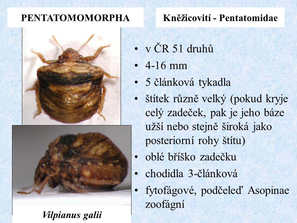 PENTATOMOMORPHAKněžicovití - Pentatomidae v ČR 51 druhů 4-16 mm 5 článková tykadla štítek různě velký (pokud kryje celý zadeček, pak je jeho báze užší