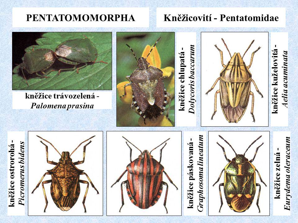 PENTATOMOMORPHAKněžicovití - Pentatomidae kněžice trávozelená - Palomena prasina kněžice ostrorohá - Picromerus bidens kněžice páskovaná - Graphosoma