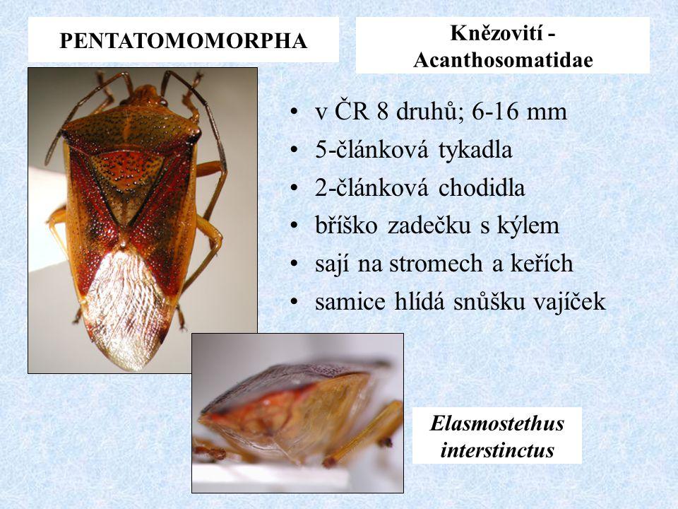 PENTATOMOMORPHA Knězovití - Acanthosomatidae v ČR 8 druhů; 6-16 mm 5-článková tykadla 2-článková chodidla bříško zadečku s kýlem sají na stromech a ke