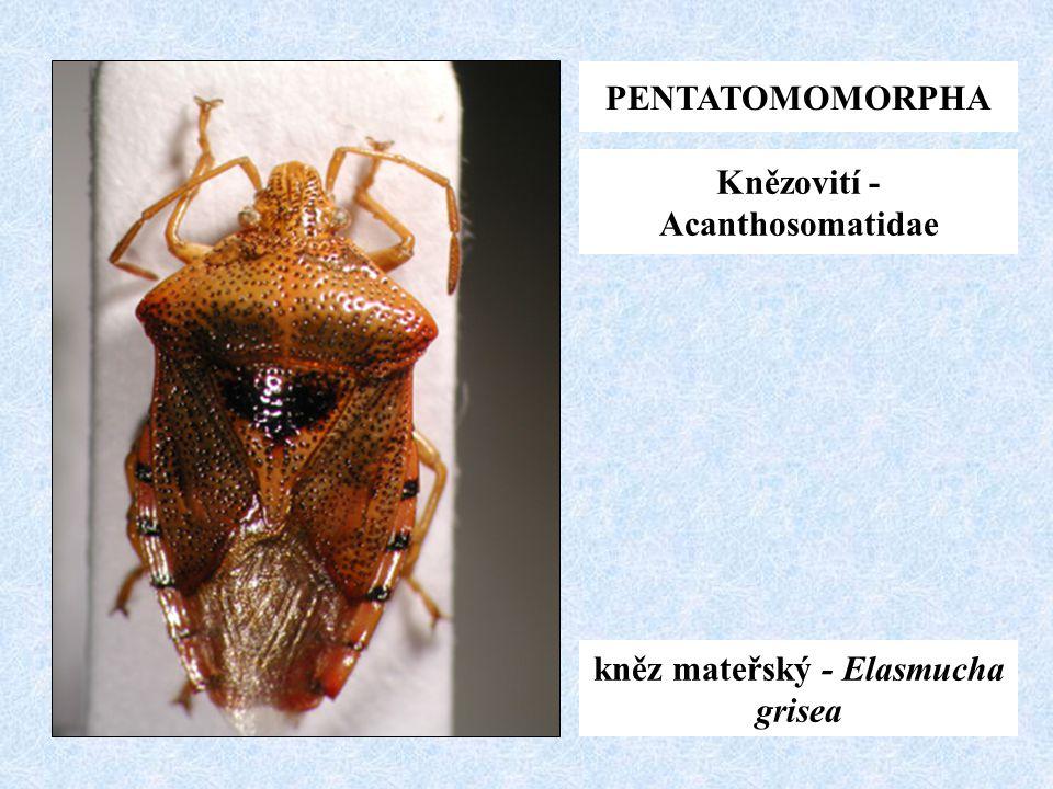 PENTATOMOMORPHA Knězovití - Acanthosomatidae kněz mateřský - Elasmucha grisea