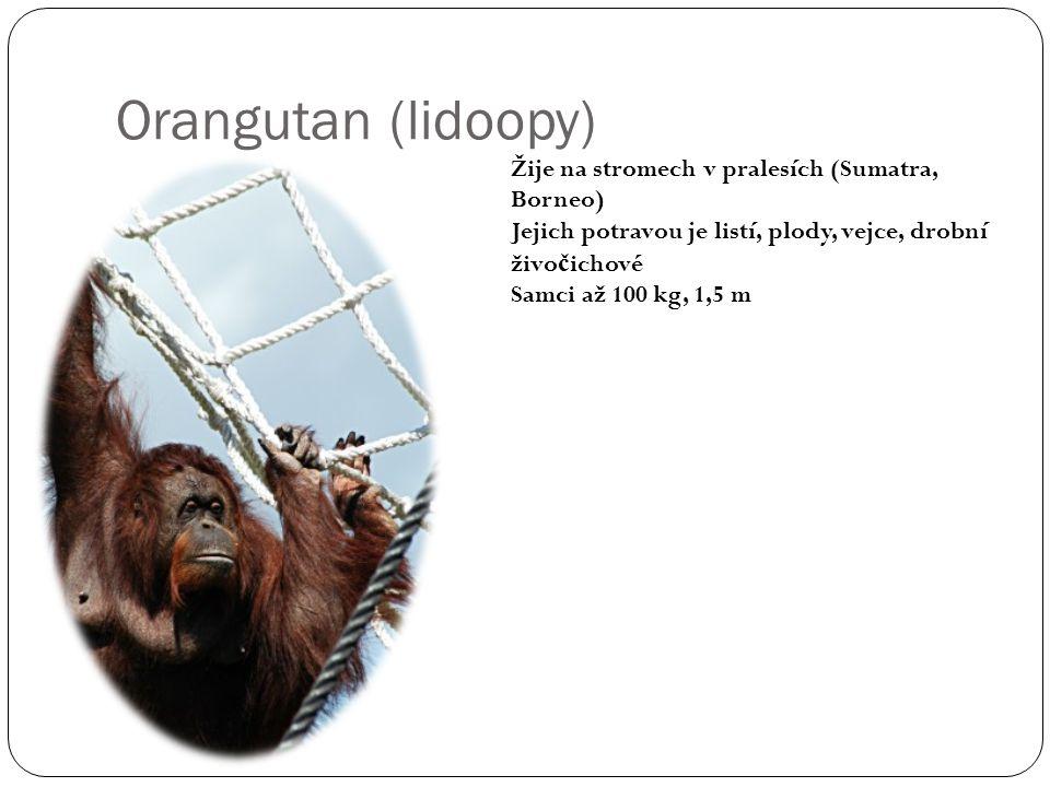Orangutan (lidoopy) Žije na stromech v pralesích (Sumatra, Borneo) Jejich potravou je listí, plody, vejce, drobní živo č ichové Samci až 100 kg, 1,5 m