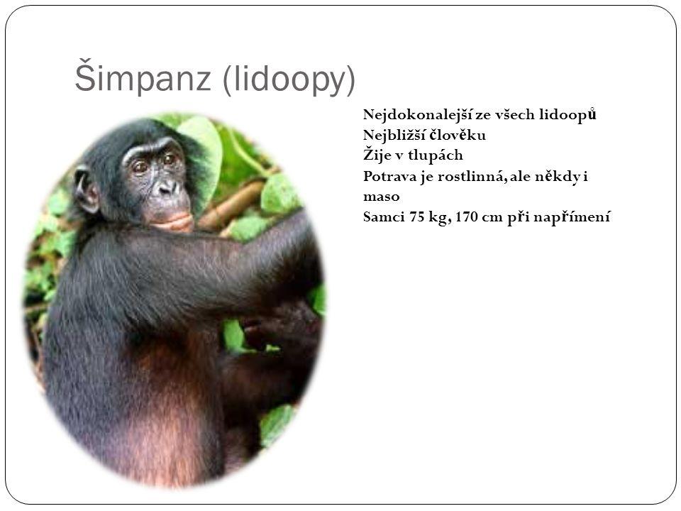 Šimpanz (lidoopy) Nejdokonalejší ze všech lidoop ů Nejbližší č lov ě ku Žije v tlupách Potrava je rostlinná, ale n ě kdy i maso Samci 75 kg, 170 cm p