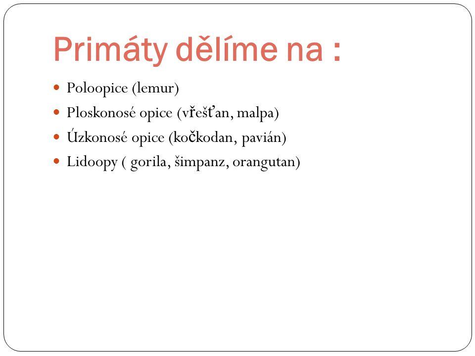 Primáty dělíme na : Poloopice (lemur) Ploskonosé opice (v ř eš ť an, malpa) Úzkonosé opice (ko č kodan, pavián) Lidoopy ( gorila, šimpanz, orangutan)