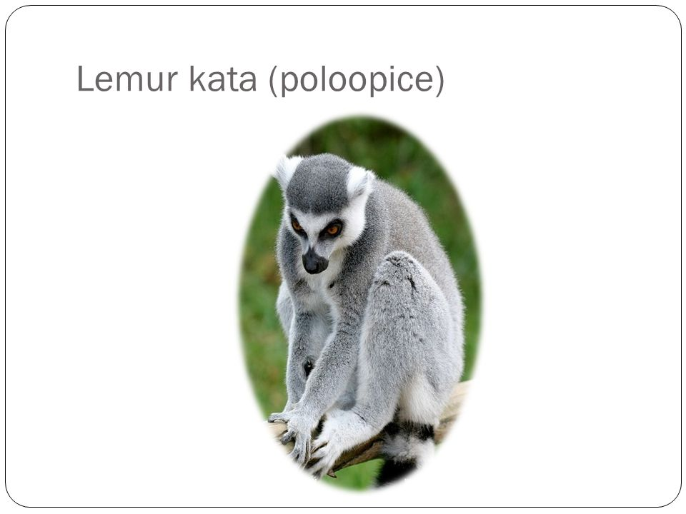 Lemur kata (poloopice)
