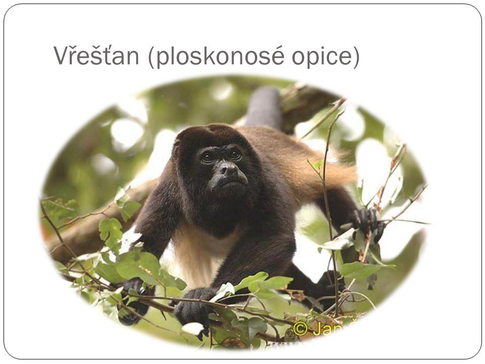 Vřešťan (ploskonosé opice)