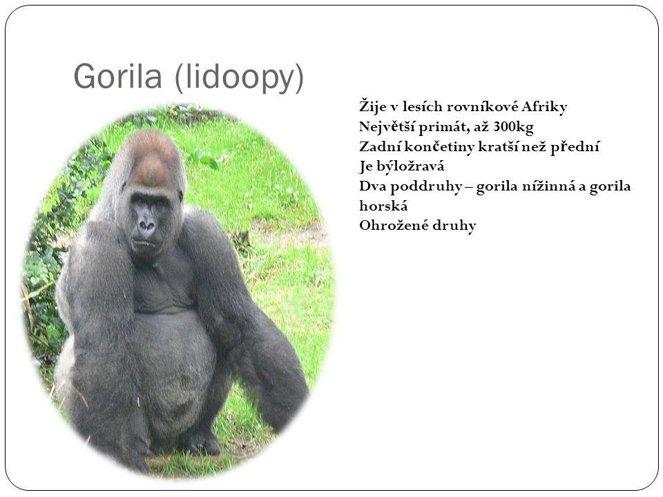 Gorila (lidoopy) Žije v lesích rovníkové Afriky Nejv ě tší primát, až 300kg Zadní kon č etiny kratší než p ř ední Je býložravá Dva poddruhy – gorila n