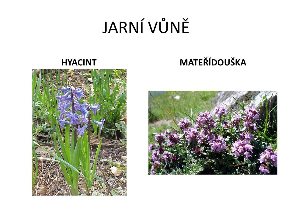 PŘIŘAĎ SPRÁVNĚ NÁZVY K OBRÁZKŮM Sněženka Modřenec Krokus – Šafrán Hyacint