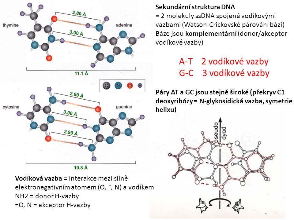 Sekundární struktura DNA = 2 molekuly ssDNA spojené vodíkovými vazbami (Watson-Crickovské párování bází) Báze jsou komplementární (donor/akceptor vodíkové vazby) A-T 2 vodíkové vazby G-C 3 vodíkové vazby Páry AT a GC jsou stejně široké (překryv C1 deoxyribózy = N-glykosidická vazba, symetrie helixu) Vodíková vazba = interakce mezi silně elektronegativním atomem (O, F, N) a vodíkem NH2 = donor H-vazby =O, N = akceptor H-vazby