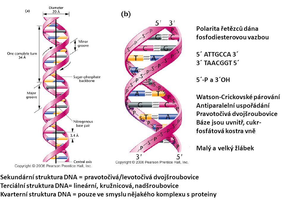 Polarita řetězců dána fosfodiesterovou vazbou 5´ ATTGCCA 3´ 3´ TAACGGT 5´ 5´-P a 3´OH Watson-Crickovské párování Antiparalelní uspořádání Pravotočivá dvojšroubovice Báze jsou uvnitř, cukr- fosfátová kostra vně Malý a velký žlábek Sekundární struktura DNA = pravotočivá/levotočivá dvojšroubovice Terciální struktura DNA= lineární, kružnicová, nadšroubovice Kvarterní struktura DNA = pouze ve smyslu nějakého komplexu s proteiny