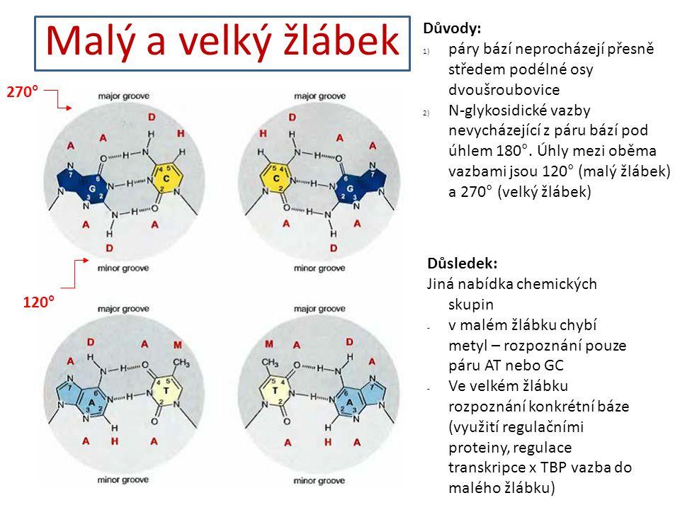 Malý a velký žlábek Důvody: 1) páry bází neprocházejí přesně středem podélné osy dvoušroubovice 2) N-glykosidické vazby nevycházející z páru bází pod