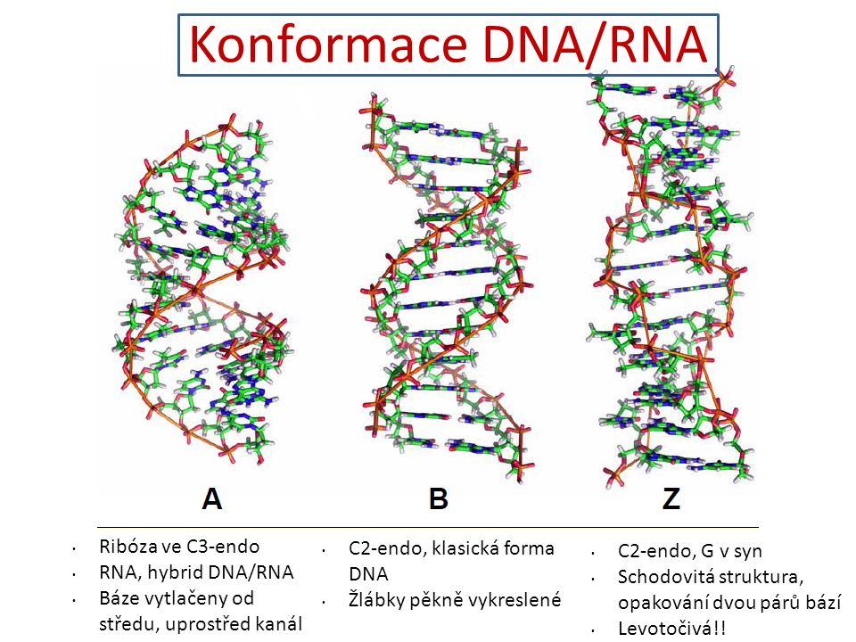 Konformace DNA/RNA Ribóza ve C3-endo RNA, hybrid DNA/RNA Báze vytlačeny od středu, uprostřed kanál C2-endo, klasická forma DNA Žlábky pěkně vykreslené C2-endo, G v syn Schodovitá struktura, opakování dvou párů bází Levotočivá!!