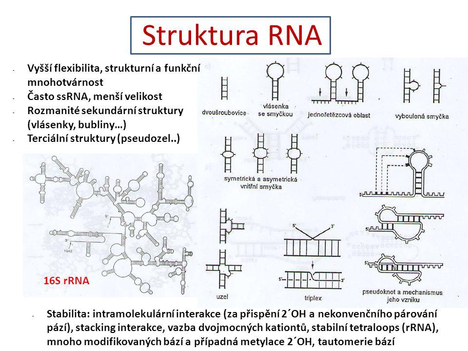 Struktura RNA - Vyšší flexibilita, strukturní a funkční mnohotvárnost - Často ssRNA, menší velikost - Rozmanité sekundární struktury (vlásenky, bubliny…) - Terciální struktury (pseudozel..) - Stabilita: intramolekulární interakce (za přispění 2´OH a nekonvenčního párování pází), stacking interakce, vazba dvojmocných kationtů, stabilní tetraloops (rRNA), mnoho modifikovaných bází a případná metylace 2´OH, tautomerie bází 16S rRNA