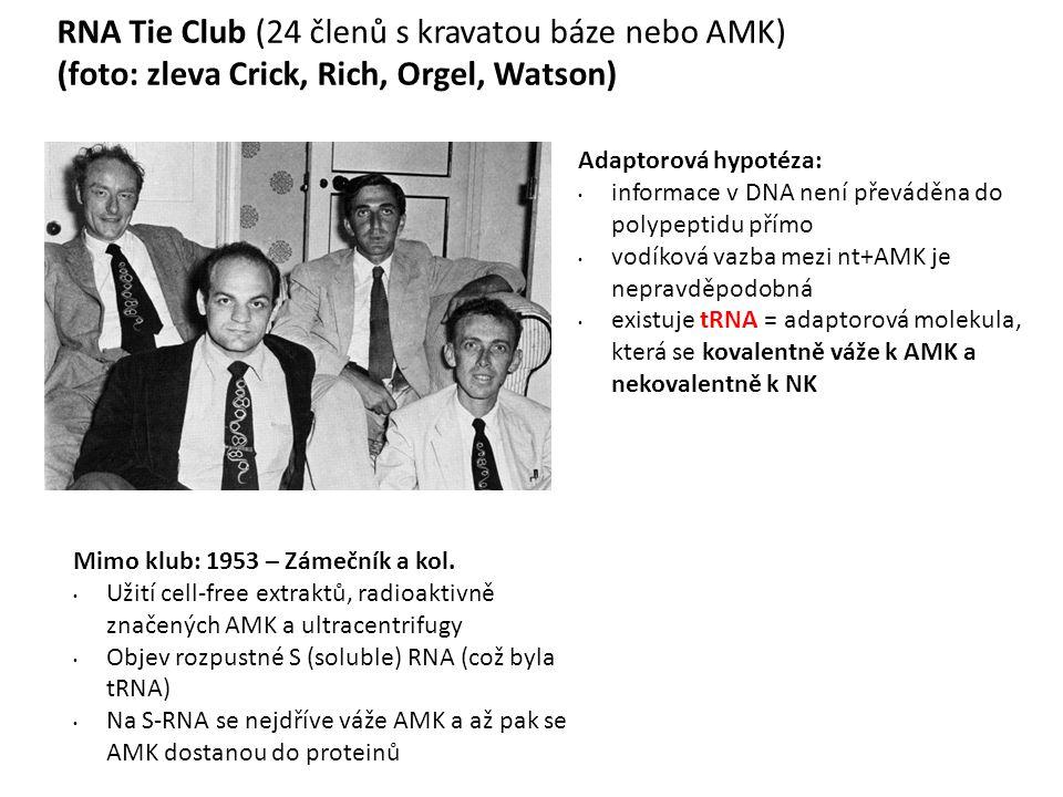 RNA Tie Club (24 členů s kravatou báze nebo AMK) (foto: zleva Crick, Rich, Orgel, Watson) Adaptorová hypotéza: informace v DNA není převáděna do polypeptidu přímo vodíková vazba mezi nt+AMK je nepravděpodobná existuje tRNA = adaptorová molekula, která se kovalentně váže k AMK a nekovalentně k NK Mimo klub: 1953 – Zámečník a kol.
