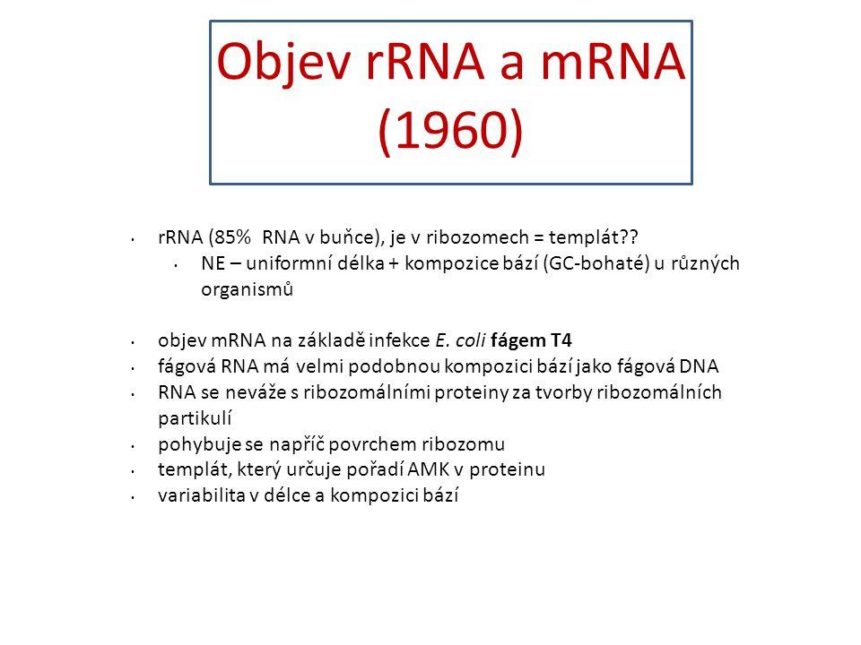rRNA (85% RNA v buňce), je v ribozomech = templát?? NE – uniformní délka + kompozice bází (GC-bohaté) u různých organismů objev mRNA na základě infekc