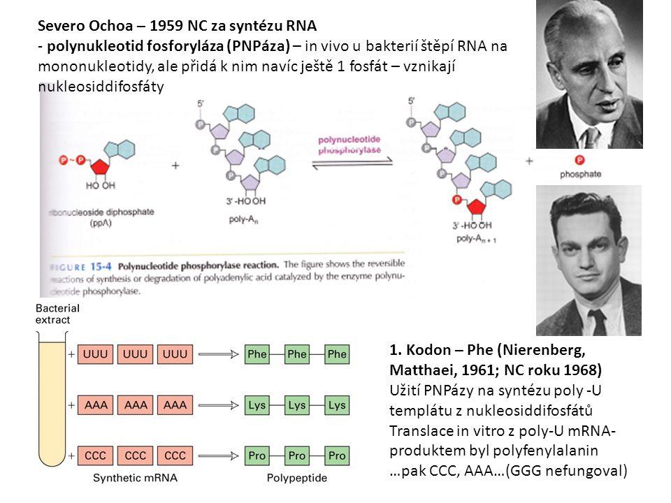 Severo Ochoa – 1959 NC za syntézu RNA - polynukleotid fosforyláza (PNPáza) – in vivo u bakterií štěpí RNA na mononukleotidy, ale přidá k nim navíc ješ