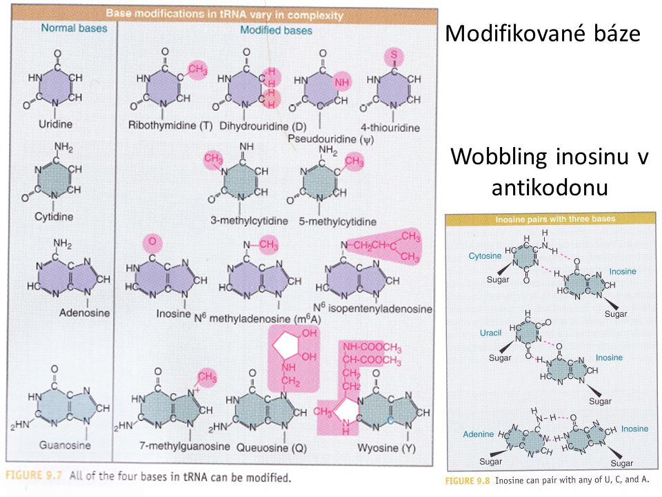 Modifikované báze Wobbling inosinu v antikodonu