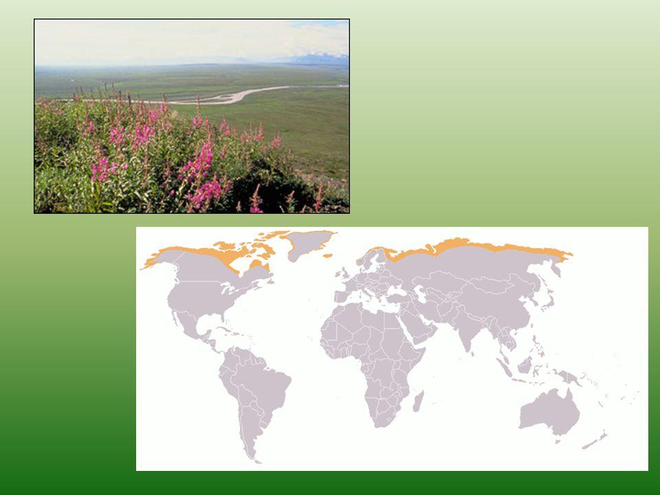 Tundra Půdy nízká produkce, nízké mikrobiální oživení, permafost →půdotvorné procesy pomalé půdy mělké s vrstvou nerozloženého opadu polygonální půdy – vznikají neustálým zamrzáním, rozmrzáním substrátu čímž dochází k vytřídění větších kamenů na okraje a jemnějších frakcí dovnitř polygonů o průměru 2 m