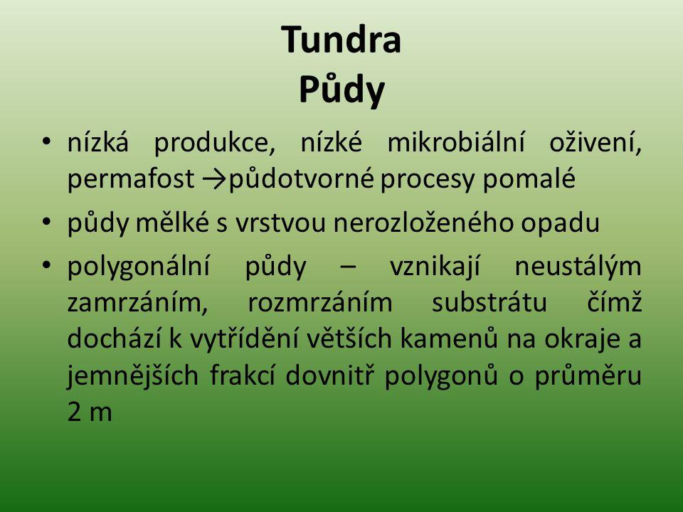 Tundra Půdy nízká produkce, nízké mikrobiální oživení, permafost →půdotvorné procesy pomalé půdy mělké s vrstvou nerozloženého opadu polygonální půdy