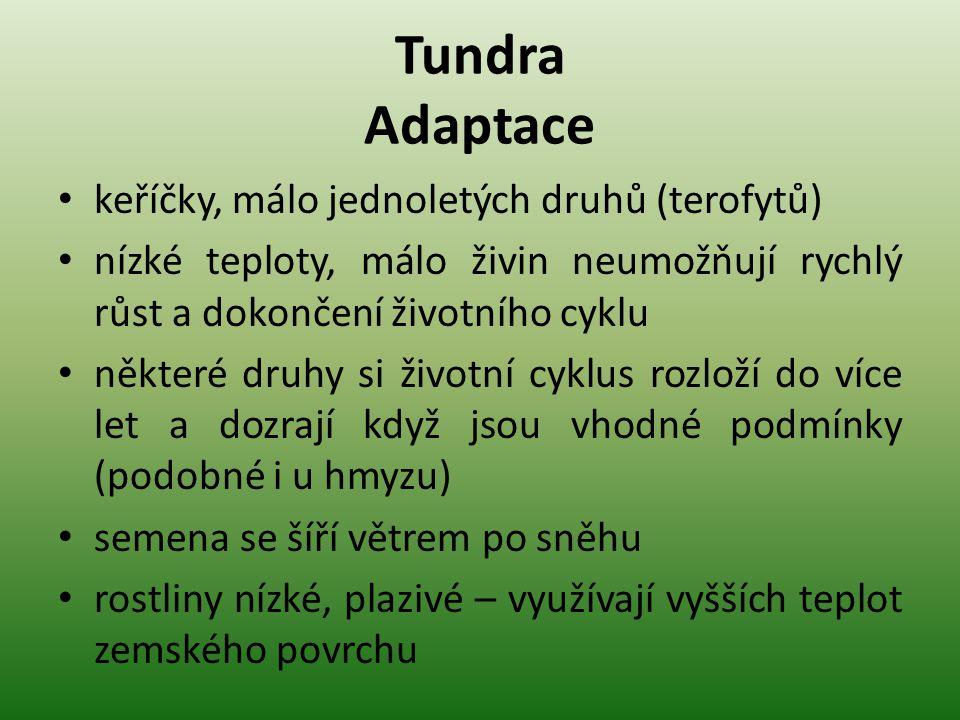 Tundra Adaptace keříčky, málo jednoletých druhů (terofytů) nízké teploty, málo živin neumožňují rychlý růst a dokončení životního cyklu některé druhy