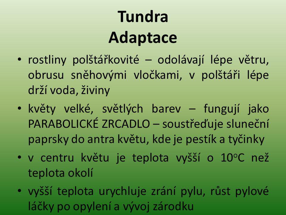 Tundra Adaptace rostliny polštářkovité – odolávají lépe větru, obrusu sněhovými vločkami, v polštáři lépe drží voda, živiny květy velké, světlých bare