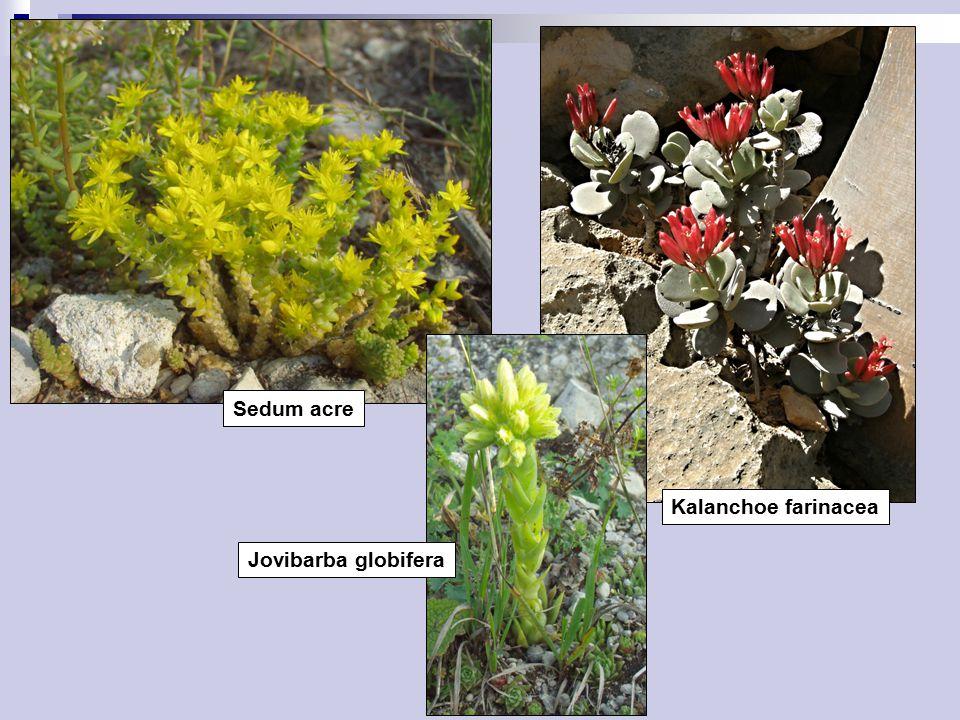 Sedum acre Jovibarba globifera Kalanchoe farinacea