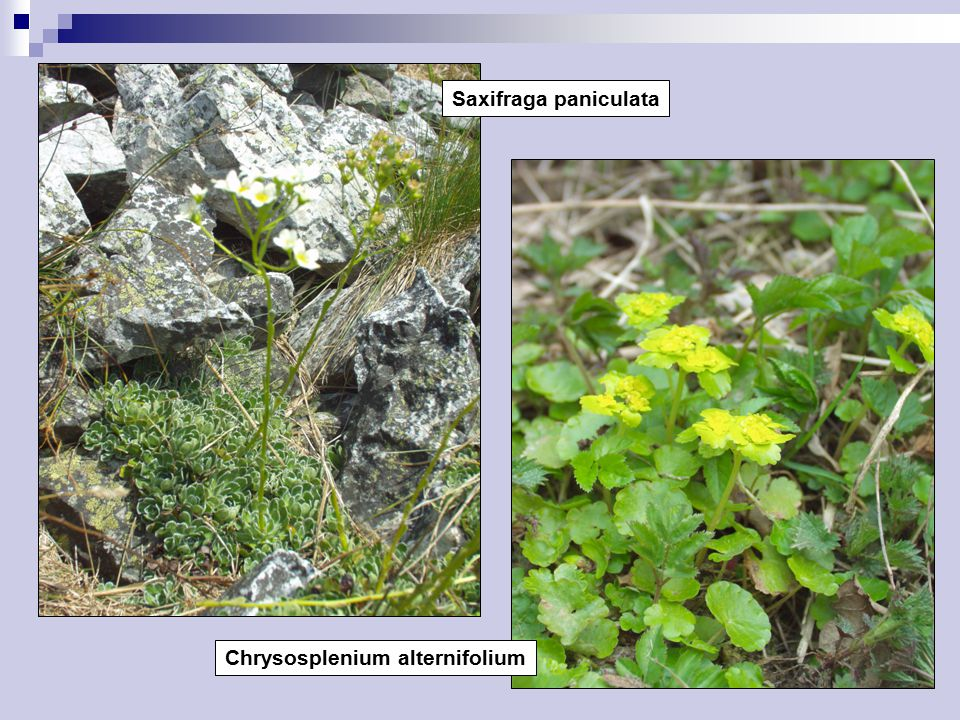Saxifraga paniculata Chrysosplenium alternifolium