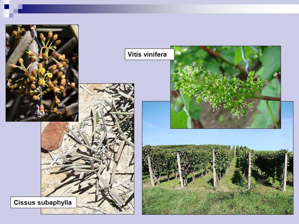 Cissus subaphylla Vitis vinifera